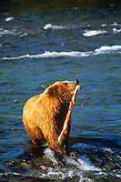 Brown bear catching salmon. Brooks Falls Katmai Park, Alaska.