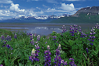 Arctic Lupin in bloom during July on the Alaska Peninsula; Lupinus arcticus
