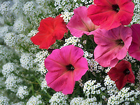 Close up of red petunias and alysum flowers. Oregon