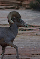 Desert Bighorn Sheep ram seen in Zion Nat. Park, southern Utah on a summer day.