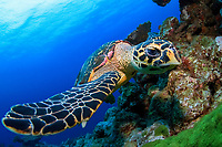 hawksbill sea turtle, Eretmochelys imbricata, endangered species, Mu Ko Similan National Park, Anita`s Reef, Thailand, Indian Ocean, Andaman Sea