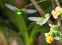 Female Booted Racket-tail hummingbird, Ocreatus underwoodii, feeds at a flower while a green-crowned woodnymph, Thalurania fannyi, approaches. Tandayapa Valley, Ecuador