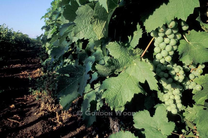 Niagara Vineyard
