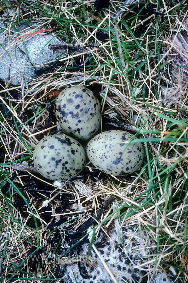 Zwergseeschwalbe, Zwerg-Seeschwalbe, Seeschwalbe, Gelege, Nest, Bodennest mit Eiern, Eier, Ei, Sterna albifrons, little tern