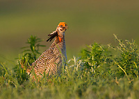 Lesser prairie chicken male at sunrise on a lek in central Oklahoma.<br />