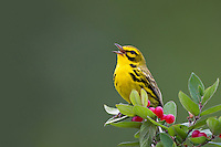 Prairie Warbler (Setophaga discolor discolor), adult male in breeding plumage singing on its breeding territory in Sterling Forest State Park, New York.
