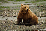 Solitary brown bear rests on gravel bar on Mikfik Creek.