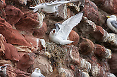 Black-legged kittiwake (Rissa tridactyla) Juvenile calling for food as an adult flies past. This bird is almost ready to fledge and will be strengthening wings by flapping throughout the day. This in turn is burning up increasing calarories adding extra pressure on te parents. However both are now able to hunt for fish or Sand eels, making the task a little easier.