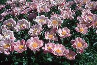 Peony Sea hell herbaceous Peonies in flower in June