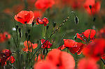 Field Poppy, Papaver rhoeas, showing field of flower heads, red and green.France....