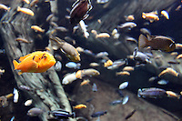 Stock photo: Red Zebra -an Mbuna African Cichlid swimming among asorted fishes in deep still water.