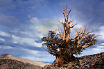 Bristlecone pine on mountaintop