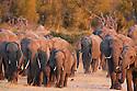 Zimbabwe, Hwange National Park, African elephant (Loxodonta africana) herd walking towards water hole