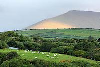 Sheep grazing in green pasture in the parish of Minard, near Lispole, Dingle Peninsula, County Kerry, Republic of Ireland