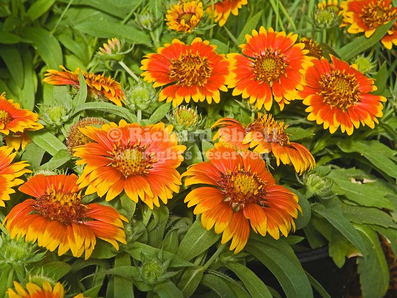 Blanketflower, Gaillardia Arizona Sun