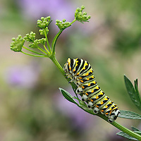 Black Swallowtail Caterpillar on new parsley bloom.
