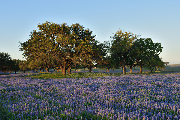 Wildflower field, Natalia, Texas, USA