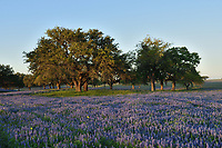 Wildflower field, Natalia, Texas, USA