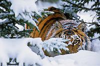 Siberian tiger (Panthera tigris altaica), Endangered Species