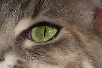 A closeup of a cat's green sunlit eye.  This is Lucca, a blue patched tabby and white.