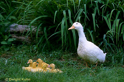 DG07-013z  Pekin Duck - female duck with young