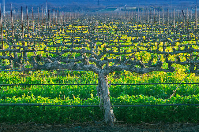 Pruned grapevines wait for spring bud break