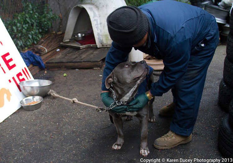 "A pit bull dog named Capitan is tethered to his doghouse in a used tire yard in the South Park neighborhood of Seattle, Wash. on January 18, 2013.  His owner Cayetano Roblero says he is let off at night to guard his business ""Latino Used Tires"".  Seen in the photo is employee Asencio Bravo who says the dog was given to them by a friend who got a divorce and was moving out of the state.  Roblero says he got the dog to guard his business which has been broken into twice.  They have had the dog about six months and no break ins have occurred.  Though Roblero says the dog doesn't get out too much on walks he adds ""If you have an animal tied up all the time why do you need the dog then?  If you have an animal you have a purpose for it.""  Otherwise, ""Its like a guy in jail."" ""Animals have a right to be free like us."" Capitan is an un neutered male. (photo © Karen Ducey Photography)"