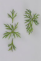 Kümmelkreuz: Bestimmung von Wiesenkümmel. Dazu die Seitenblättchen an einem Fiederstück abzupfen, bleibt dann ein Blätterkreuz (d.h., die kleinen Fiederstücke bilden an der Mittelrippe ein Kreuz) bestehen, handelt es sich um Kümmel.  Wiesen-Kümmel, Wiesenkümmel, Kümmel, Carum carvi, Caraway, Cumin