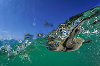 olive ridley sea turtle hatchling, Lepidochelys olivacea, takes its first swim in the ocean, split view, Ostional, Costa Rica, Pacific