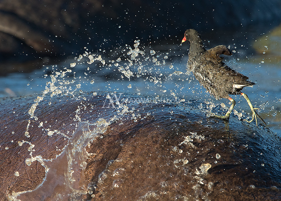 This moorhen was hanging out on top of the hippos in the middle of the Ngorongoro Crater. They occasionally got annoyed with its presence, flicking their tails to splash water in an attempt to usher it away.