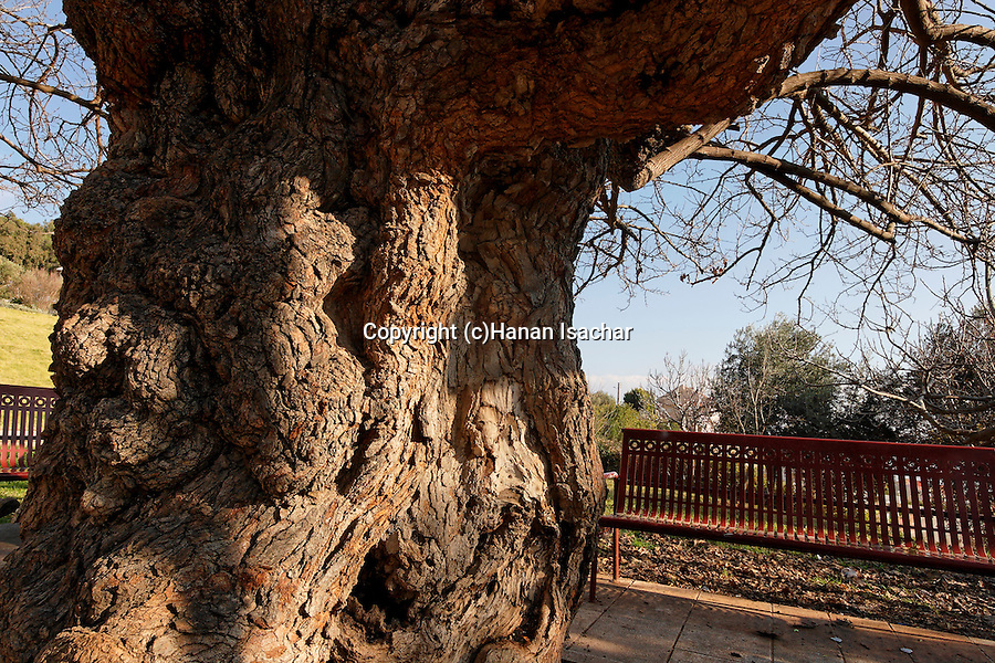 Israel, the Upper Galilee. The trunk of a Mulberry tree (Morus Alba) in Metulla<br />