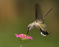 Black-chinned Hummingbird female. The July heat of Summer here now in Central Texas. Published National Wildlife Calendar 2012.