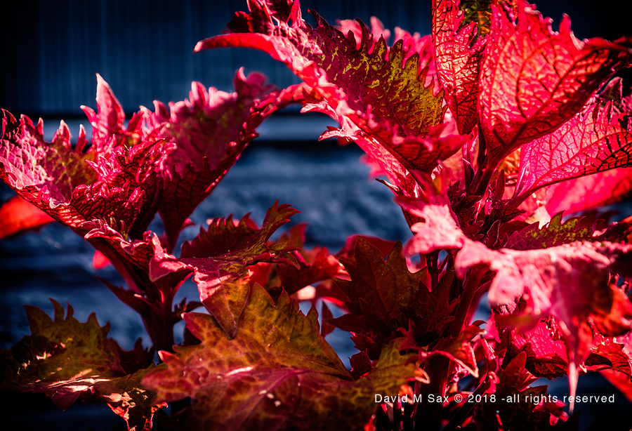 6.6.18 - Dragon Leaves....