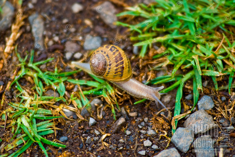 A snail meanders in one of the gardens at Alii Kula Lavender farm at the base of Haleakala, Kula