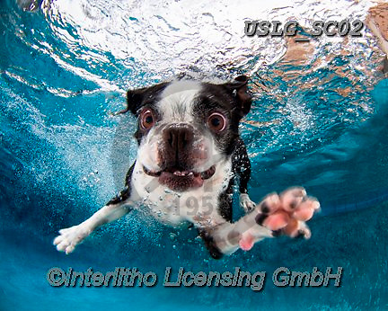 REALISTIC ANIMALS, REALISTISCHE TIERE, ANIMALES REALISTICOS, dogs, paintings+++++SethC_320B0417rev2,USLGSC02,#A#, EVERYDAY ,underwater dogs,photos,fotos ,Seth