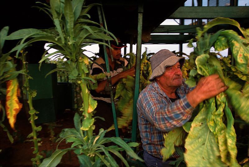 Robert Parlapiano Picking Tobacco, Murat's Farm, Mareeba, 2002.