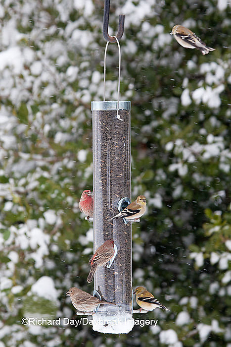 00585-03903 House Finch (Carpodacus mexicanus) male & female, and  American Goldfinches (Carduelis tristis) on sunflower tube feeder in winter, Marion Co., IL