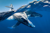 humpback whale, Megaptera novaeangliae, mother and calf, playing, swimming upside down and lobtailing, slapping waters surface with tail, Tonga, Pacific Ocean