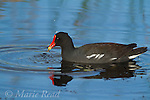Common Moorhen (Gallinula chloropus), feeding on aquatic vegetation, Viera Wetlands. Florida, USA