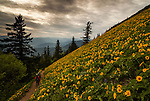 Male and female companions hike in the evening along the Dog Mountain Trail in Washington State during the peak bloom of Balsamroot flowers.