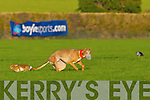 Glin owned dog, Go Home Hare who won the The Boylesports Derby at the National Coursing Meeting in Clonmel on Wednesday.