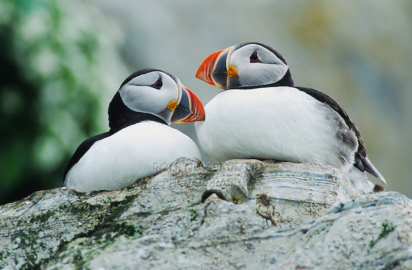 Atlantic Puffin (Fratercula arctica),pair, Hornoya Nature Reserve, Vardo, Norway, Europe