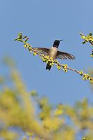 Black-chinned Hummingbird (Archilochus alexandri), adult male landing on blooming Texas persimmon (Diospyros texana), Hill Country, Texas, USA