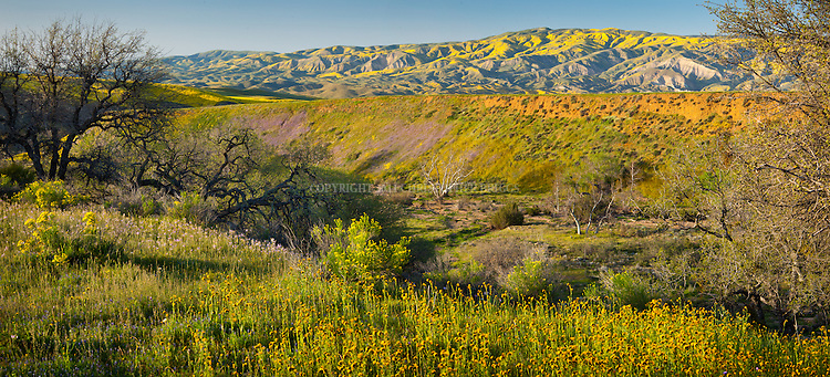 Coreopsis, Fiddleneck, Lupin and California Poppies cover a hillside with Caliente Range in background. Santa Barbara County, CA.