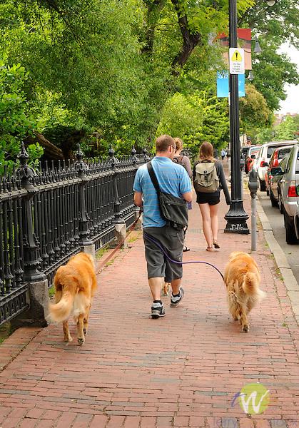 Boston Public Garden. Man walking two golden retrievers