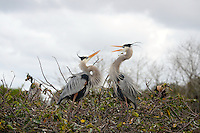 Two Great Blue Herons, photographed late afternoon,building a nest at Wakodahatchee Wetlands. Delray Beach, Florida.