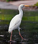 Cattle egret seen in Princeville, Kauai, Hawaii