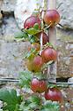 Gooseberry 'Lancashire Lad' grown as a vertical cordon against a wall, mid June.