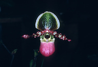 Paphiopedilum chamberlainianum orchid species = Paphiopedilum victoria-regina