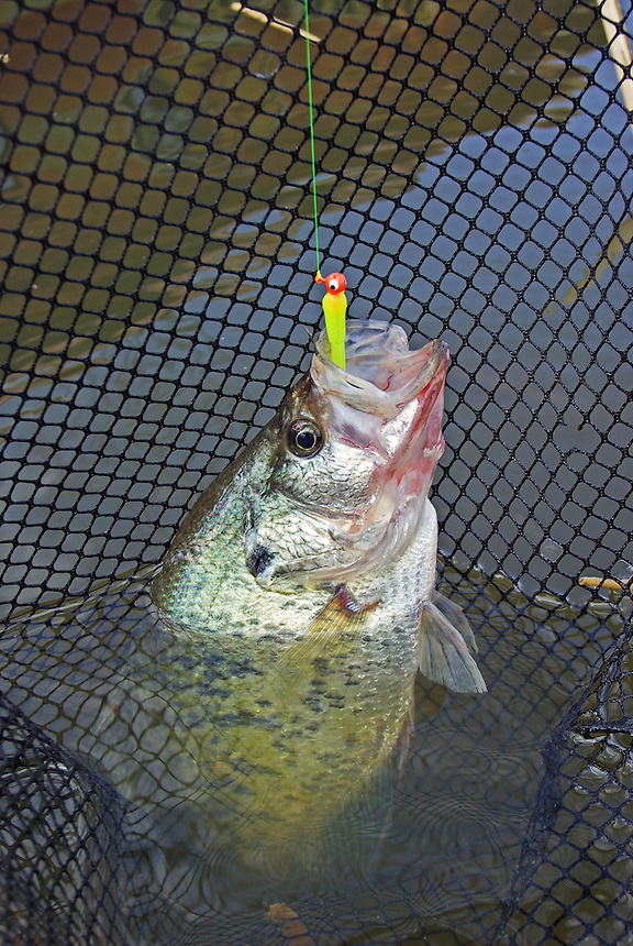Crappie caught on jig in net